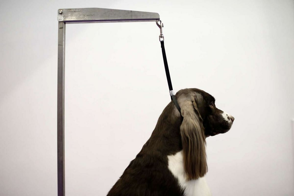 Cullen, a Springer Spaniel from Charleston, South Carolina standing on a grooming table before competition at the 141st Westminster Kennel Club Dog Show in New York City on Feb 13, 2017.