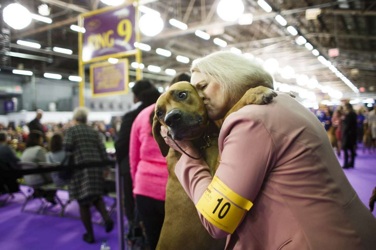 A Rhodesian Ridgeback is embraced before competition during the 2017 Westminster Kennel Club Dog Show in New York, New York on Feb 13, 2017.