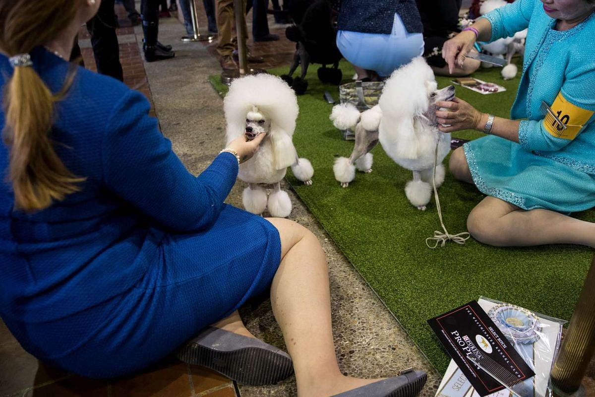 Toy Poodles being groomed before competition during the 141st Westminster Kennel Club Dog Show in New York City, on Feb 13, 2017.
