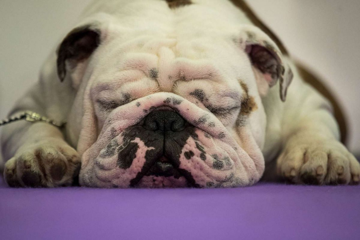 A bulldog resting before competing at the 141st Westminster Kennel Club Dog Show in New York on Feb 13, 2017.