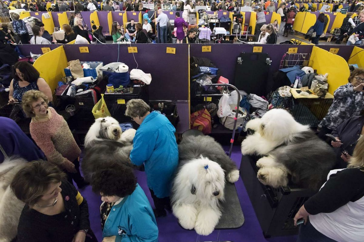 Old english sheepdogs are groomed at Pier 94 during the Westminster Kennel Club Dog Show in New York on Feb 13, 2017.