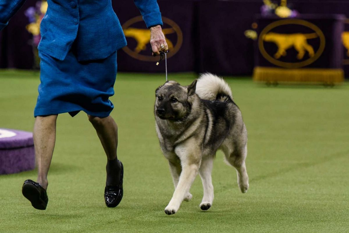 Duffy, a Norwegian Elkhound, won the Hound group at the 141st Westminster Kennel Club Dog Show, in New York City on Feb 13, 2017.