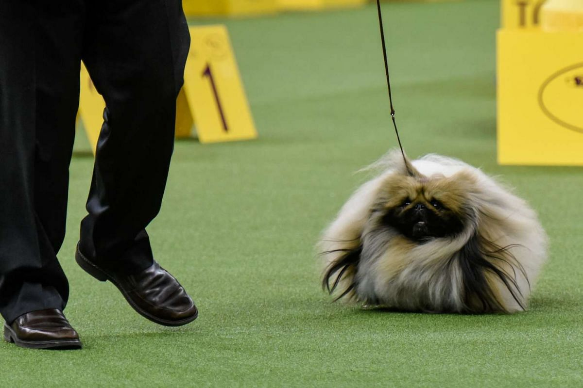Chuckie, a Pekingese, won the Toy group at the 141st Westminster Kennel Club Dog Show in New York on Feb 13, 2017.