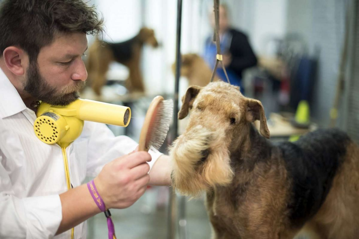 Bryce, an Airedale terrier, is groomed at the Westminster Kennel Club Dog Show, in New York, February 14, 2017. PHOTO: THE NEW YORK TIMES