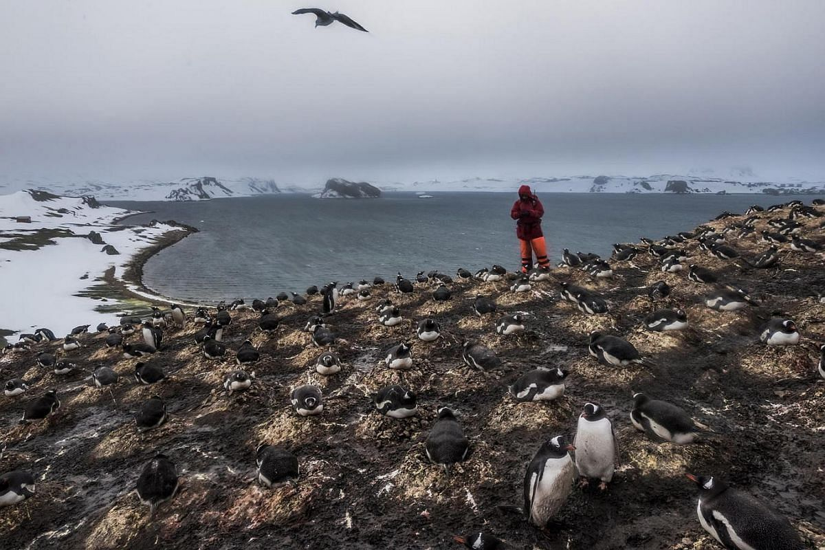 A member of a German research team counts the number of penguin species and pairs as part of ongoing research on bird and penguin species in Antarctica; Fildes Bay, Antartica, on Dec 7, 2015.