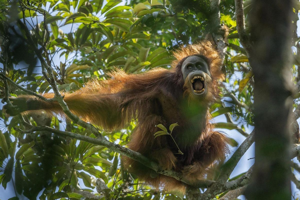 A young male Sumatran orangutan threatens another male, in Batang Toru Forest. Male orangutans are intolerant of other males, and compete for territory and females.