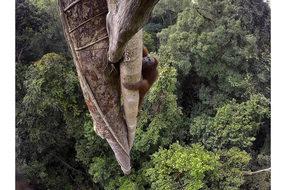 A young male Bornean orangutan climbs 30 meters up to the crown of a fruiting strangler fig tree to feed, deep in the rainforest in the Gunung Palung National Park.