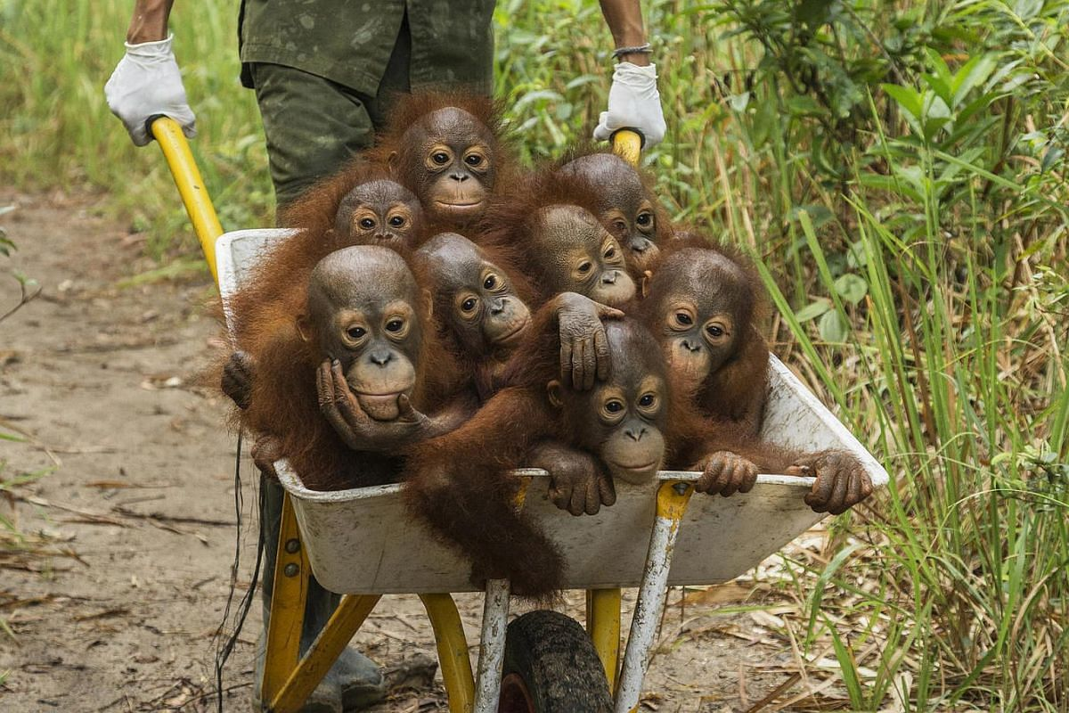 Orphan baby orangutans get a ride from their night cages to a patch of forest where they can play for a day, at the International Animal Rescue facility in Ketapang.
