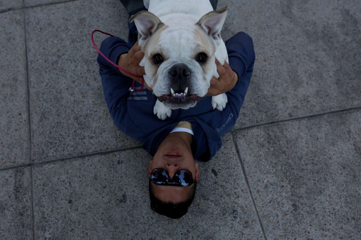 An English Bulldog playing with its owner during a parade to set the Guinness World Records for the largest Bulldog walk in Mexico City. More than 900 English Bulldog participated in the walk on Feb 26, 2017.