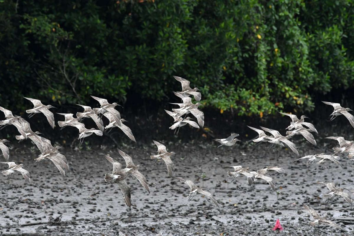 A large, noisy flock of whimbrels at Sungei Buloh Wetland Reserve on Jan 30, 2017. They arrive in Singapore in early July and depart by late May. They feed on crabs in the muds with their long bills and other invertebrates.