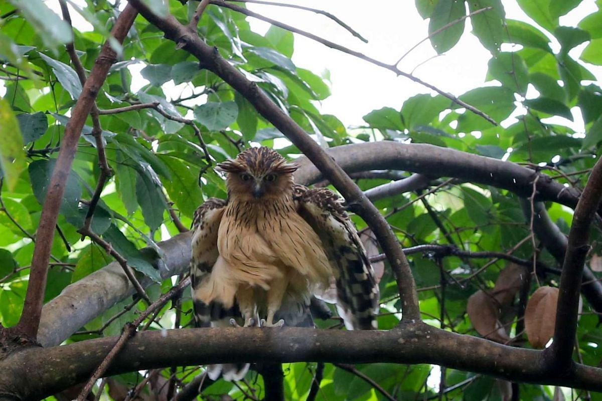A buffy fish owl ruffling its feathers amidst a light rain at the Singapore Botanic Gardens on Jan 31, 2017. It is nationally endangered in Singapore and also found in East India, mainland Southeast Asia, Thai-Malay Penisula, and Greater Sundas.