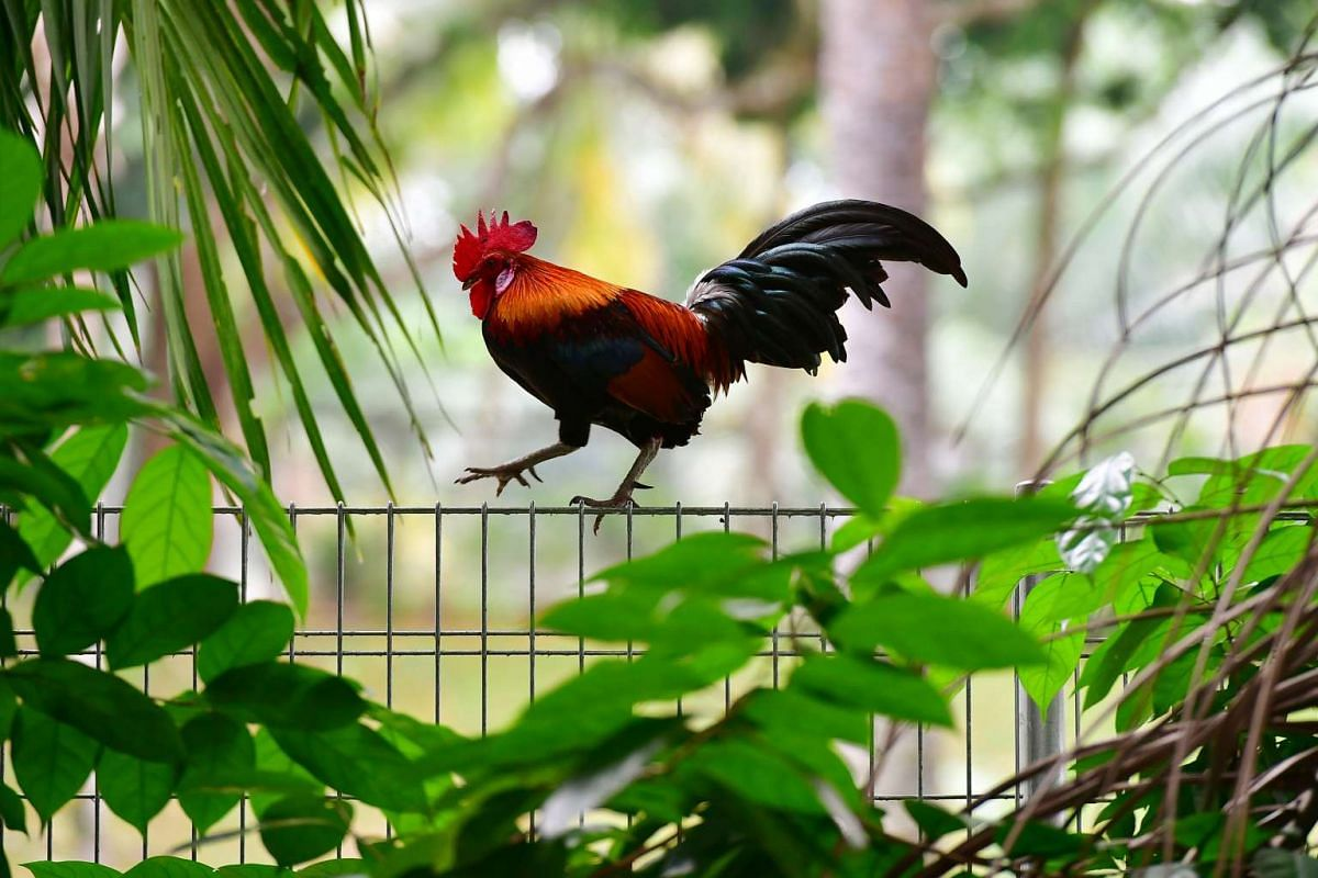 A red junglefowl, which is the ancestor of all domestic chickens, seen on Feb 2, 2017. It is on the endangered list in the Singapore red data book. Domestic chicken can interbreed with the endangered red junglefowl, and this dilutes the genetic pool