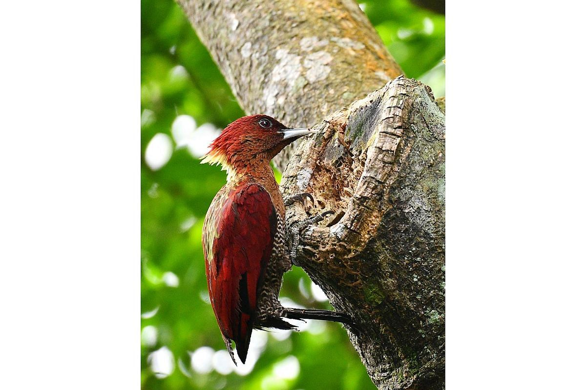 A banded woodpecker at the Singapore Botanic Gardens on Jan 10. It can be found in primary and secondary forests, forest edges, scrubs and old plantations here, and in the Thai-Malay Peninsula, Sumatra, Borneo and Java. The bird has a yellow nape, a