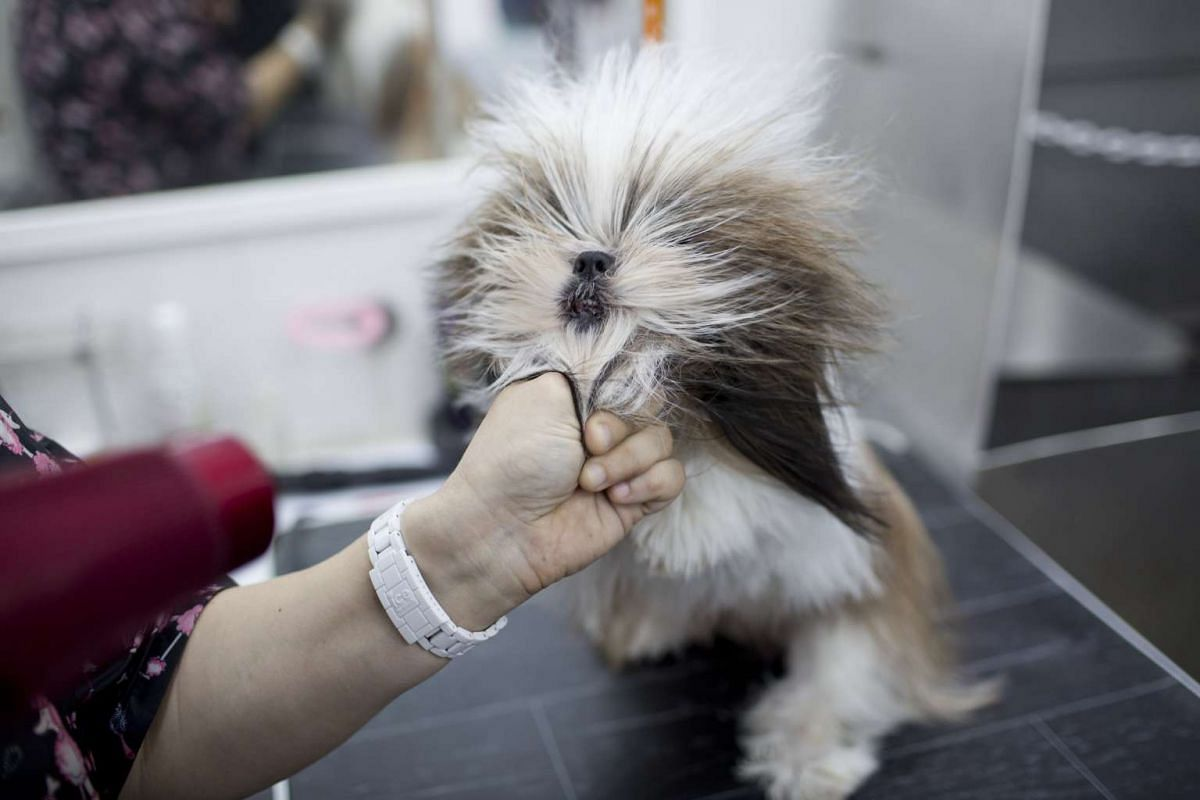 An employee drying a dog after washing at Miss Dolittle dog barber shop in Tel Aviv, Israel, on Feb 24, 2017.