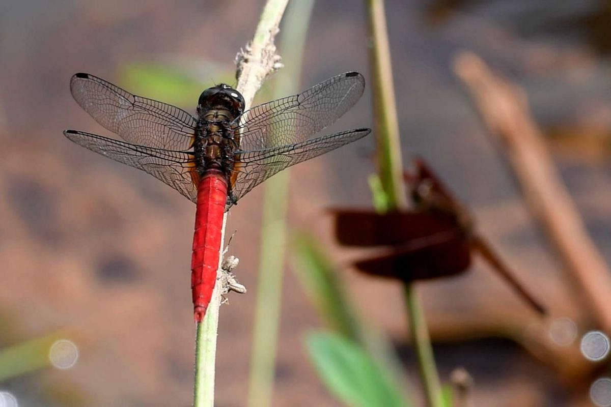 The spine-tufted skimmer is a species of dragonfly commonly found in Singapore. This one was spoted by a stream near the Venus Drive nature walk. The males' abdomens are red, while the females' abdomens are varying shades of brown.
