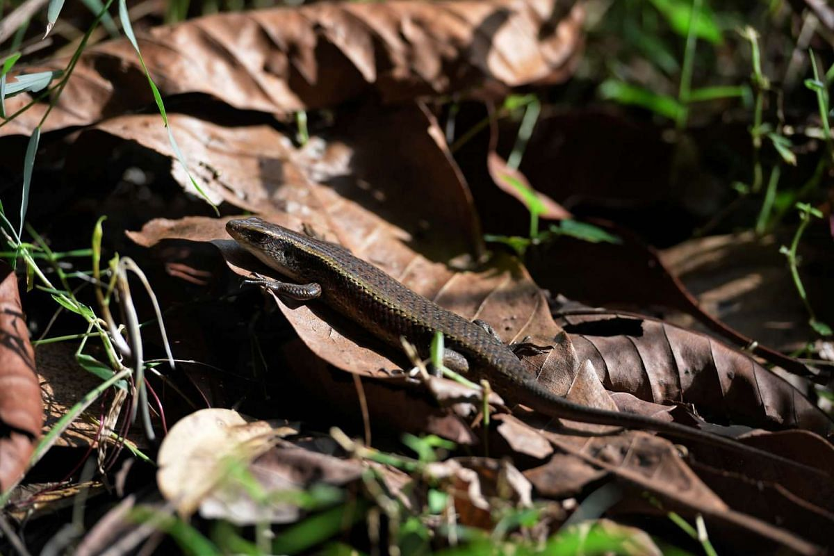 A common sun skink in the forested area off Venus Drive. They are active during the day on land and like to bask in the sun on forest tracks or tree trunks. They have smooth, scaled skins, small legs and can grow up to 35cm.