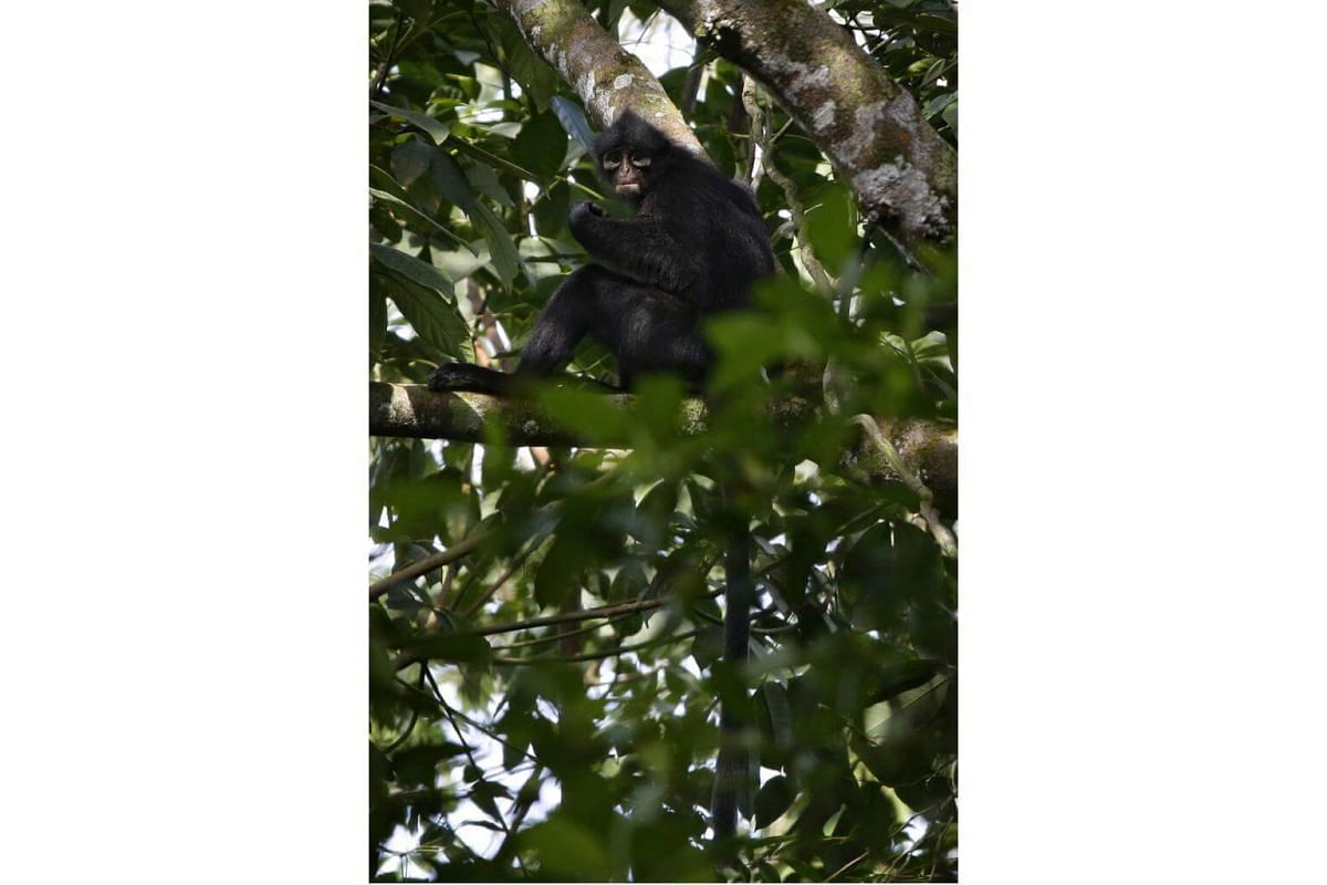 The Raffles' banded langur, also known as the banded leaf monkey, once thrived across the island. Urbanisation has whittled down its population to 60 at most, according to 2010 data. The Raffles' banded langur can grow up to 84cm in length, including