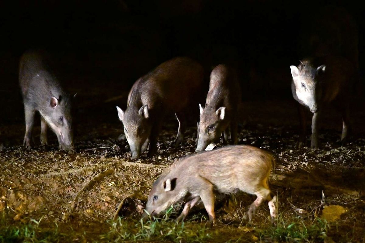 Wild boars, a native animal of Singapore, at the junction of Pasir Ris Drive 3 and Pasir Ris Farmway 1.