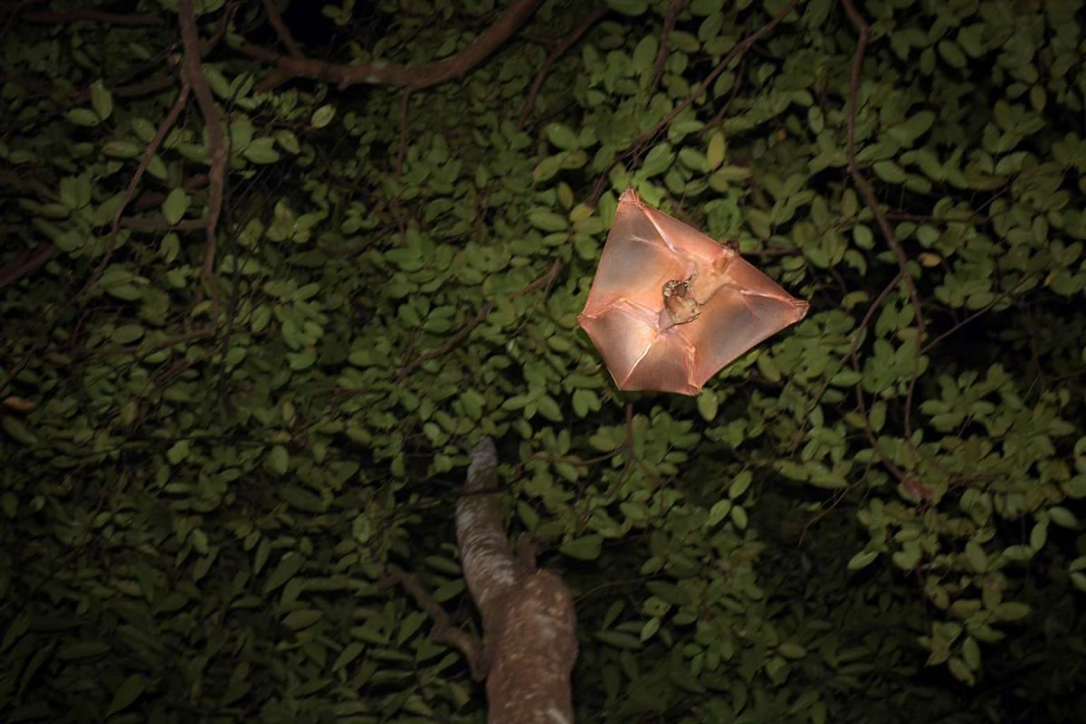 A female Malayan colugo at the Bukit Timah Nature Reserve takes off with its baby clinging to its belly. Also known as the Malayan flying lemur, the colugo has large eyes and a pointed muzzle. It also has a grey or reddish-brown body with irregular b
