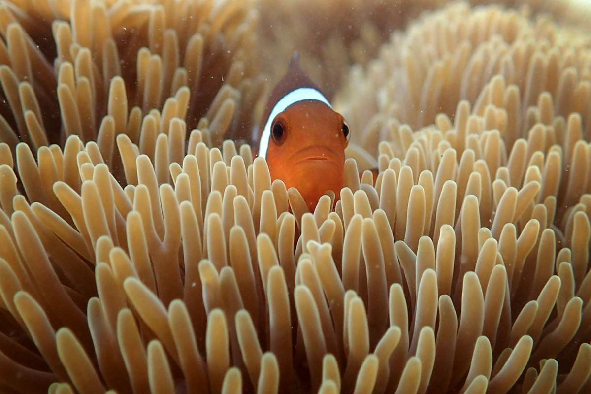 A clownfish peeks out from a giant carpet anemone at Big Sister's Island. The fish seeks refuge in the anemone, which has harpoon-like stingers on its tentacles called nematocysts that protect the clownfish from predators, while the fish cleans the