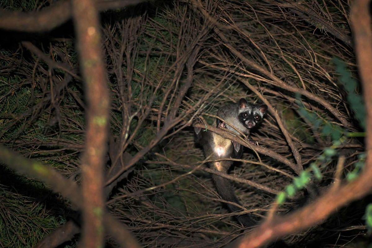 A juvenile common palm civet, also known as the musang, hides in a tree near Upper East Coast Road. This native mammal has dark grey fur and a black facial band across its eyes, giving it the appearance of wearing a mask. Civets are shy nocturnal cre