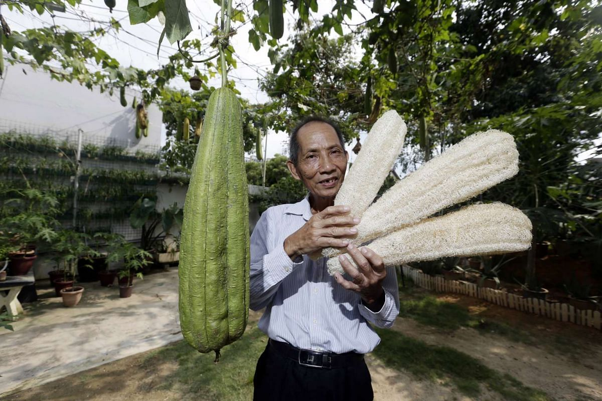 Mr Ivan Heng (holding dried loofah) in his mini farm where he grows giant loofah.