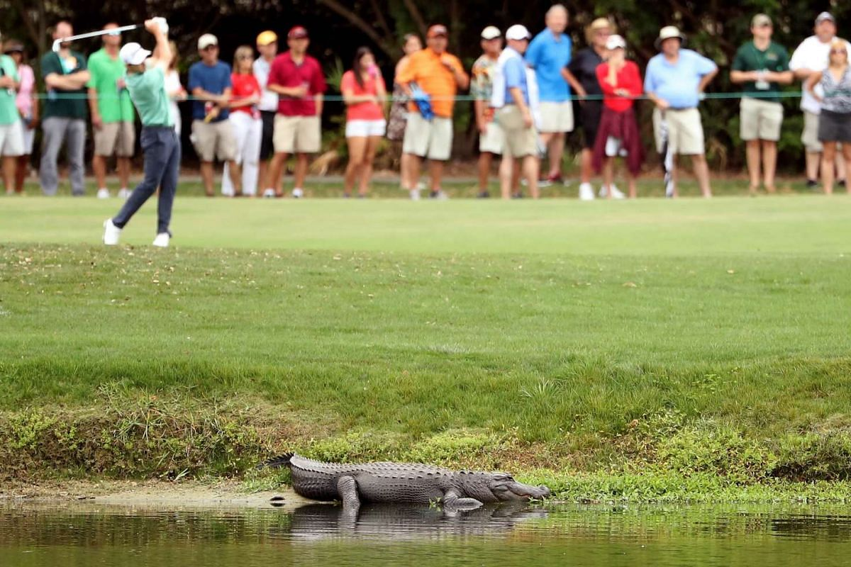 An alligator lies near the third fairway as Patrick Cantlay plays a shot during the final round of the Valspar Championship at Innisbrook Resort Copperhead Course on March 12, 2017 in Palm Harbor, Florida. PHOTO: GETTY IMAGES/AFP