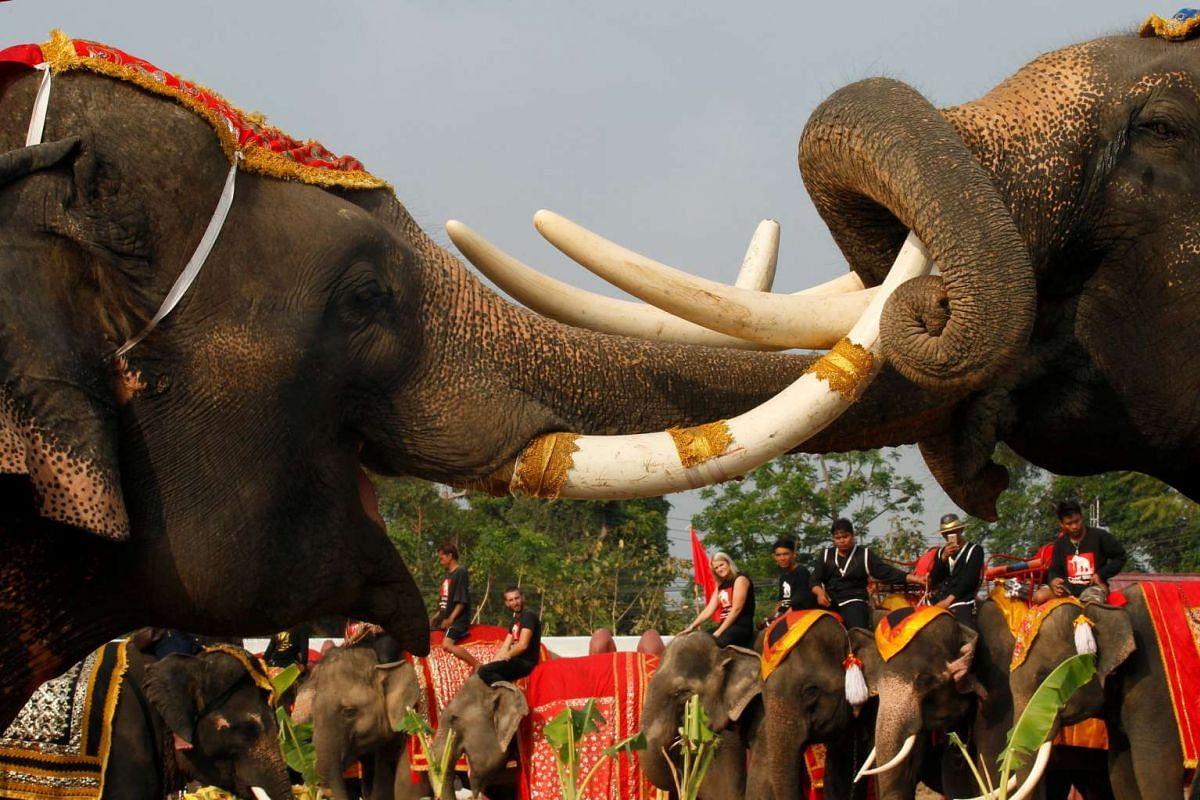 Elephants, together with their Thai mahouts, take part in an elephant fighting demonstration during Thailand's National Elephant Day celebration on March 13, 2017.
