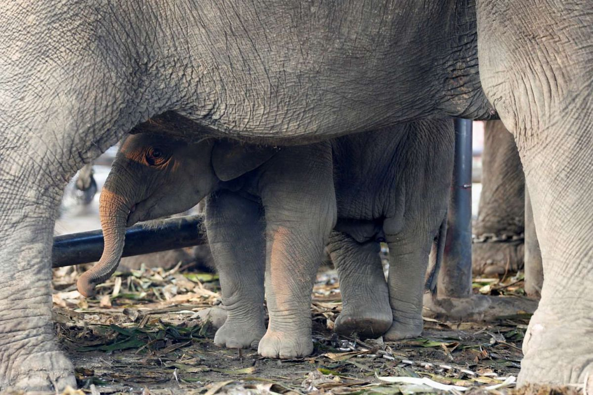 A baby elephant stands under its mother during Thailand's National Elephant Day celebration on March 13, 2017.