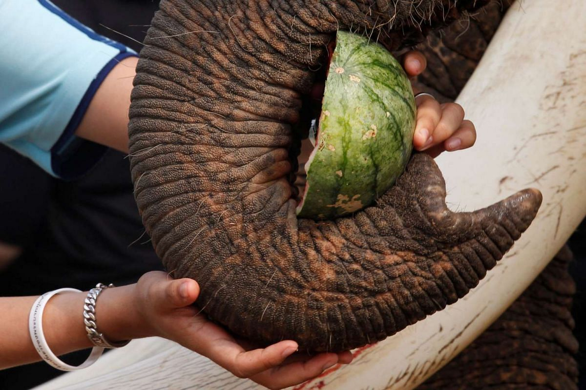 A student feeds an elephant during Thailand's National Elephant Day celebration on March 13, 2017.