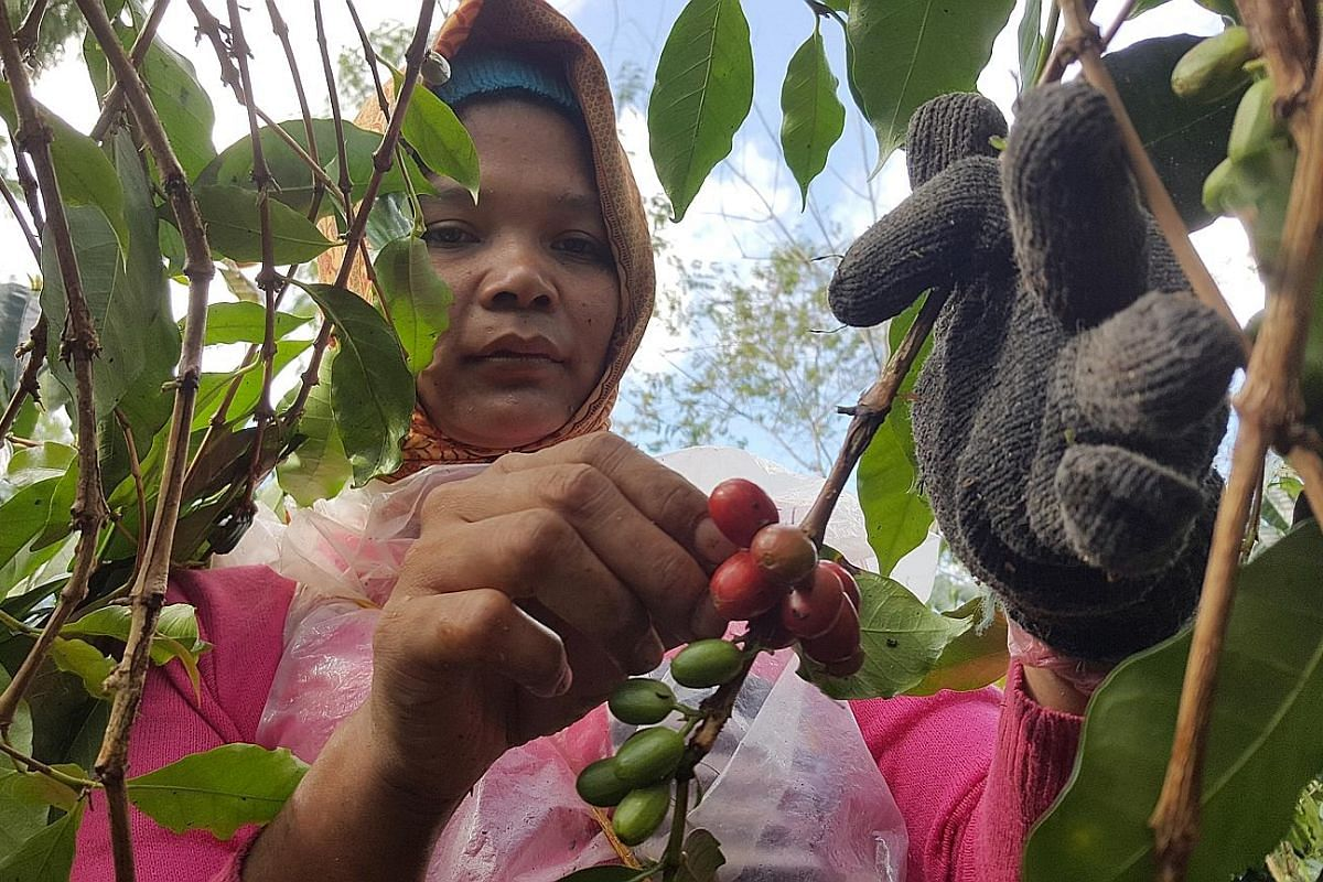 Ms Nurmala Limbong, 32, plucks only ripe red cherries, which determine high-quality coffee, at Wahana Estate.