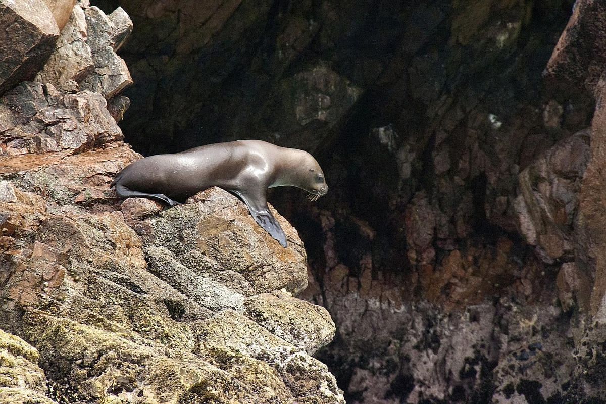 Vermillion sea stars sitting on the outcrops of the jagged coastlines of the wildlife-rich islands, which cover a length of 700m. Hundreds of thousands of birds, including penguins, roosting on the Ballestas Islands. A sea lion, a resident of the Bal