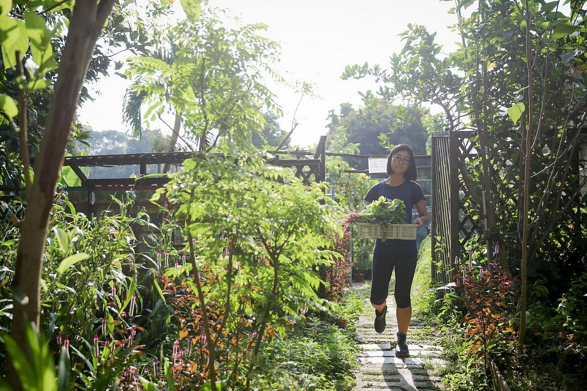 Ms Teo Kai Ni, 30, a compensation analyst, harvesting spinach from the farm. The vegetables will be cleaned, weighed and packaged to be sold.