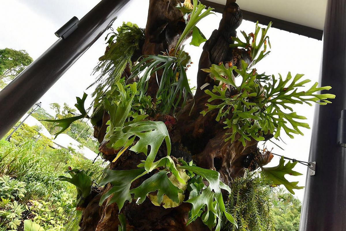 Staghorn ferns on display near the Visitor Services Counter.