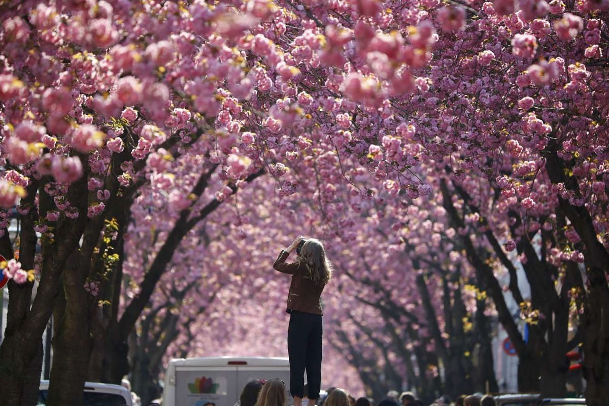A tourist takes a picture at Heerstrasse flanked by pink cherry tree blossoms on Cherry Blossom Avenue in downtown Bonn, Germany, April 2, 2017.