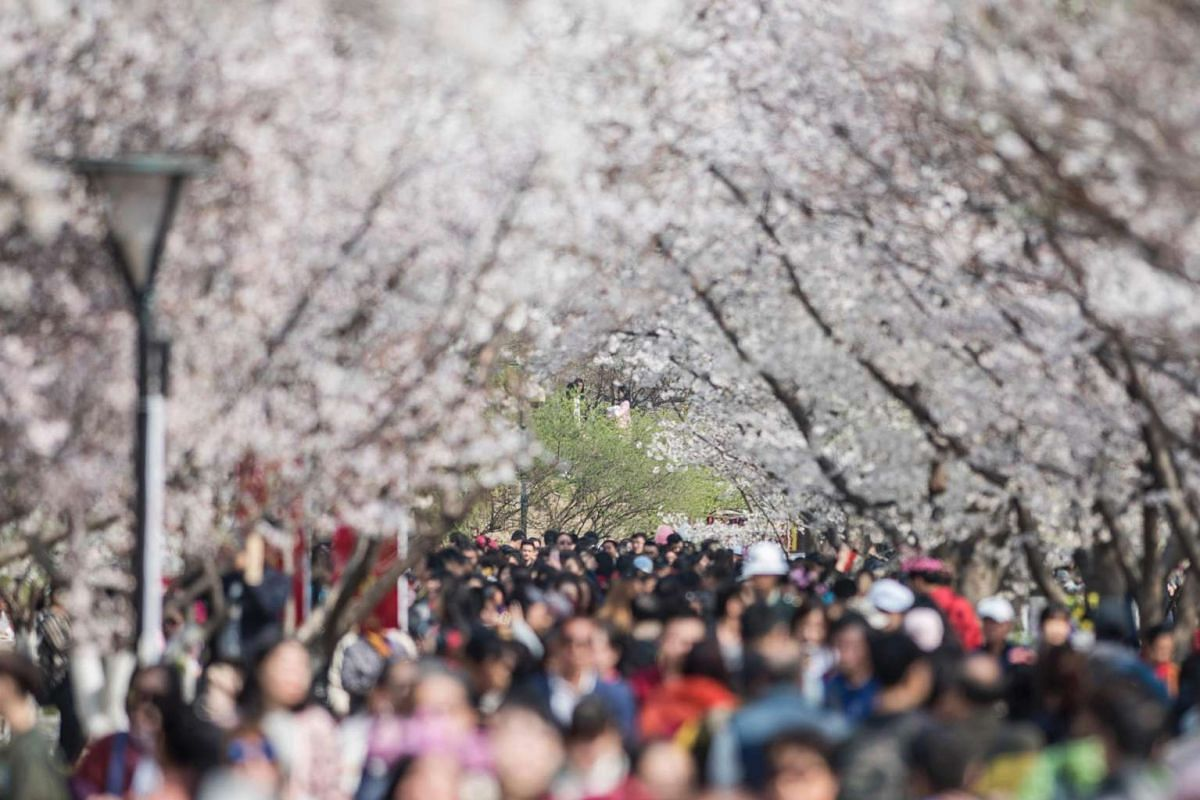 Visitors enjoying the cherry blossoms at the Yuyuan Tan Park in Beijing, on March 30, 2017.