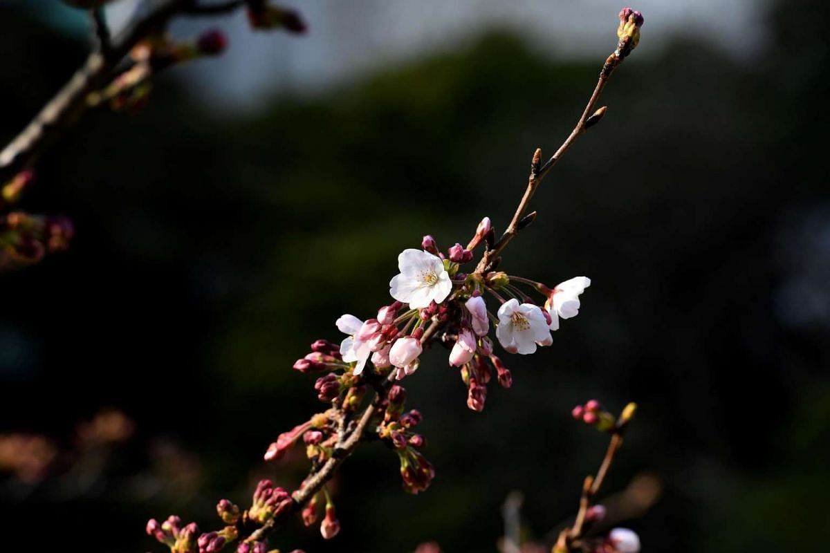 Cherry blossoms blooming on a tree in a garden in Tokyo on March 29, 2017.
