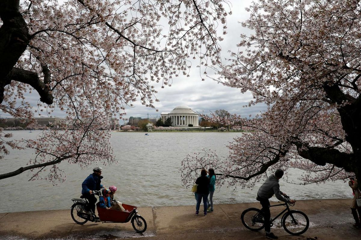 People riding bikes under cherry blossoms near the Tidal Basin in Washington, D.C., United States, on April 1, 2017.