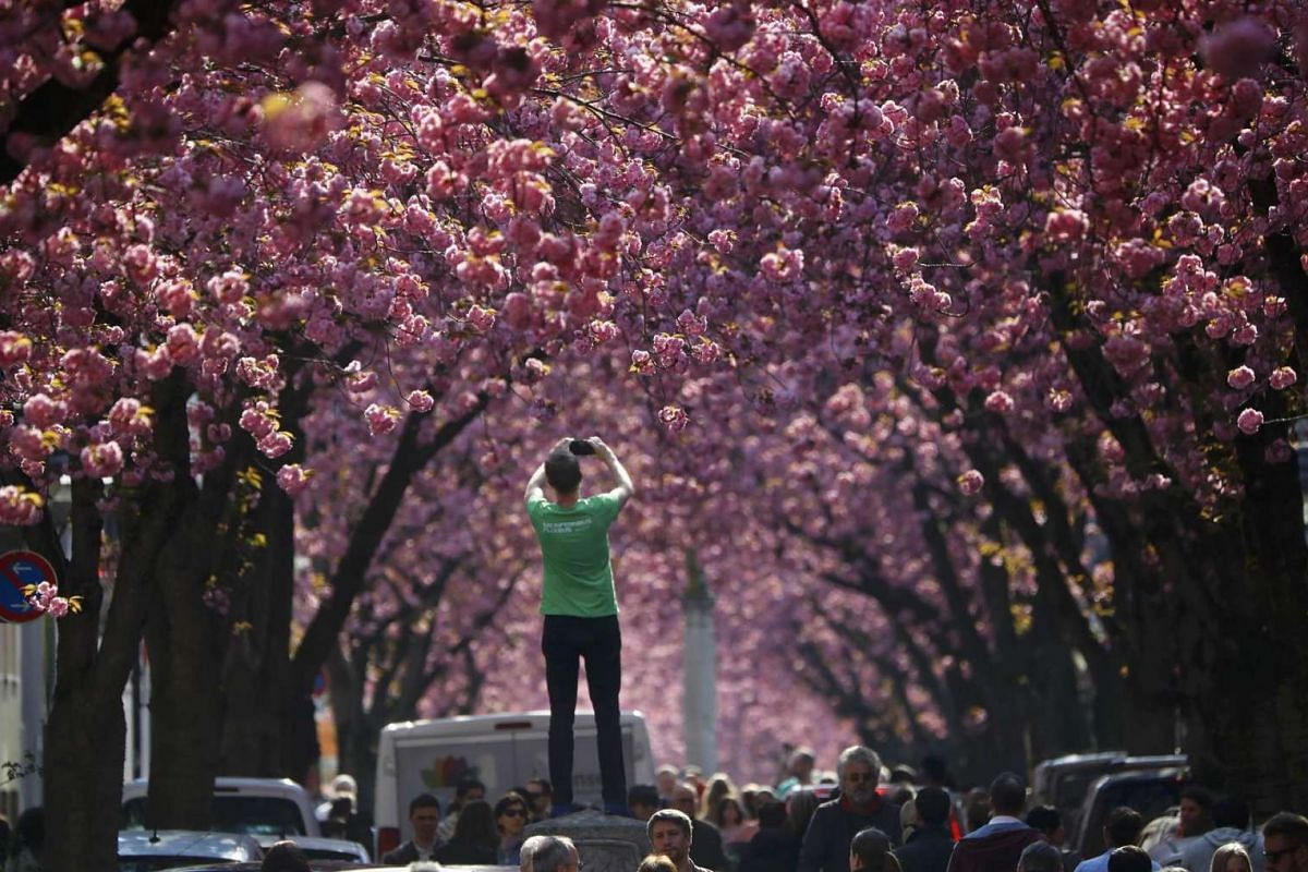 A tourist taking a picture at Heerstrasse flanked by pink cherry tree blossoms on Cherry Blossom Avenue in downtown Bonn, Germany, on April 2, 2017.