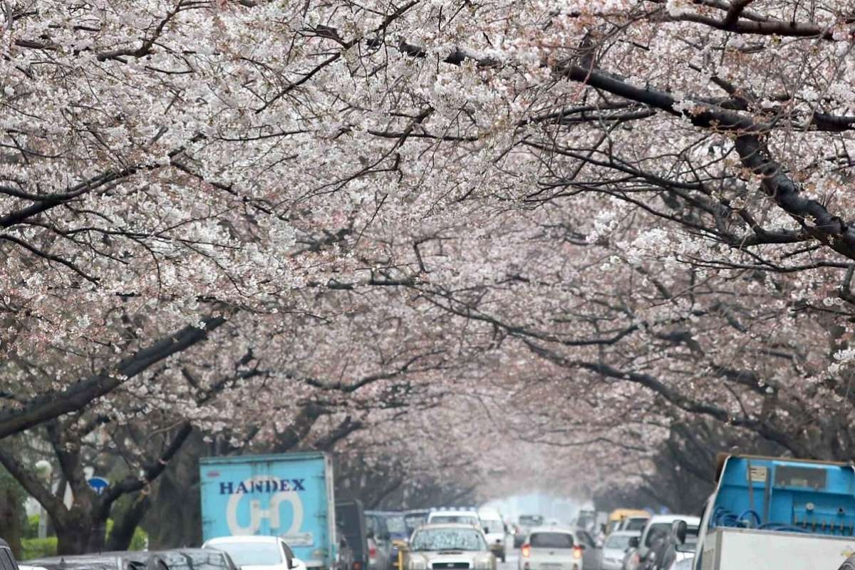 Blooming cherry blossoms form a tunnel on a street in Busan, a port city 453 km south-east of Seoul, South Korea, under a drizzle on March 29, 2017.