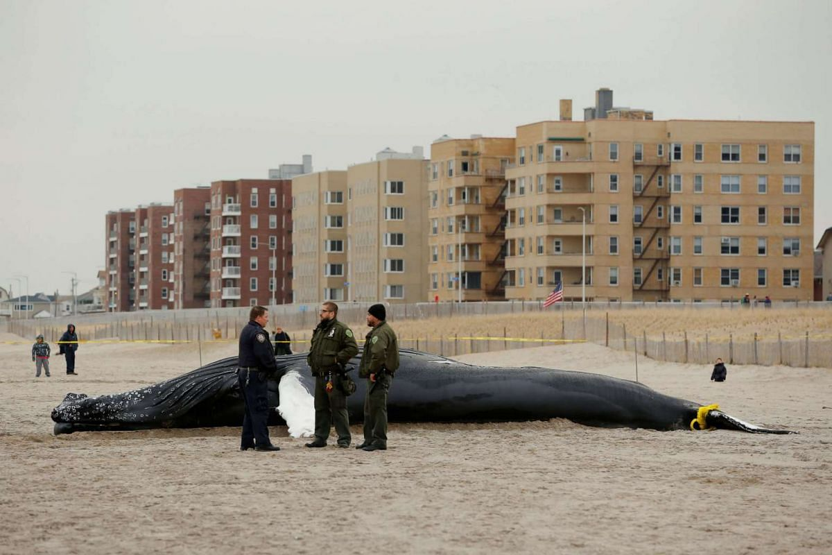 Law enforcement personnel standing next to a dead humpback whale that washed up in New York on April 4, 2017.