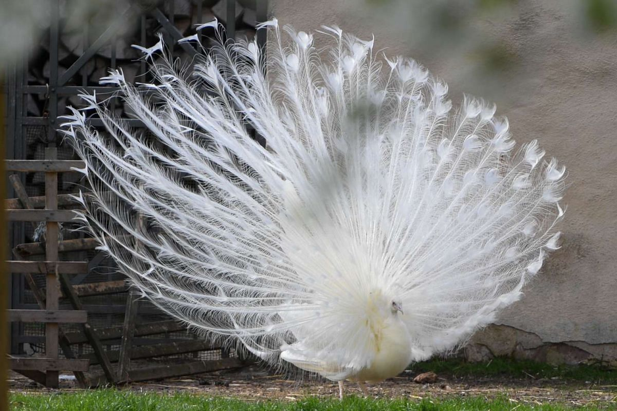 A white peacock spreads its tail on April 10, 2017 in Seligenstadt near Frankfurt am Main, western Germany. PHOTO: AFP
