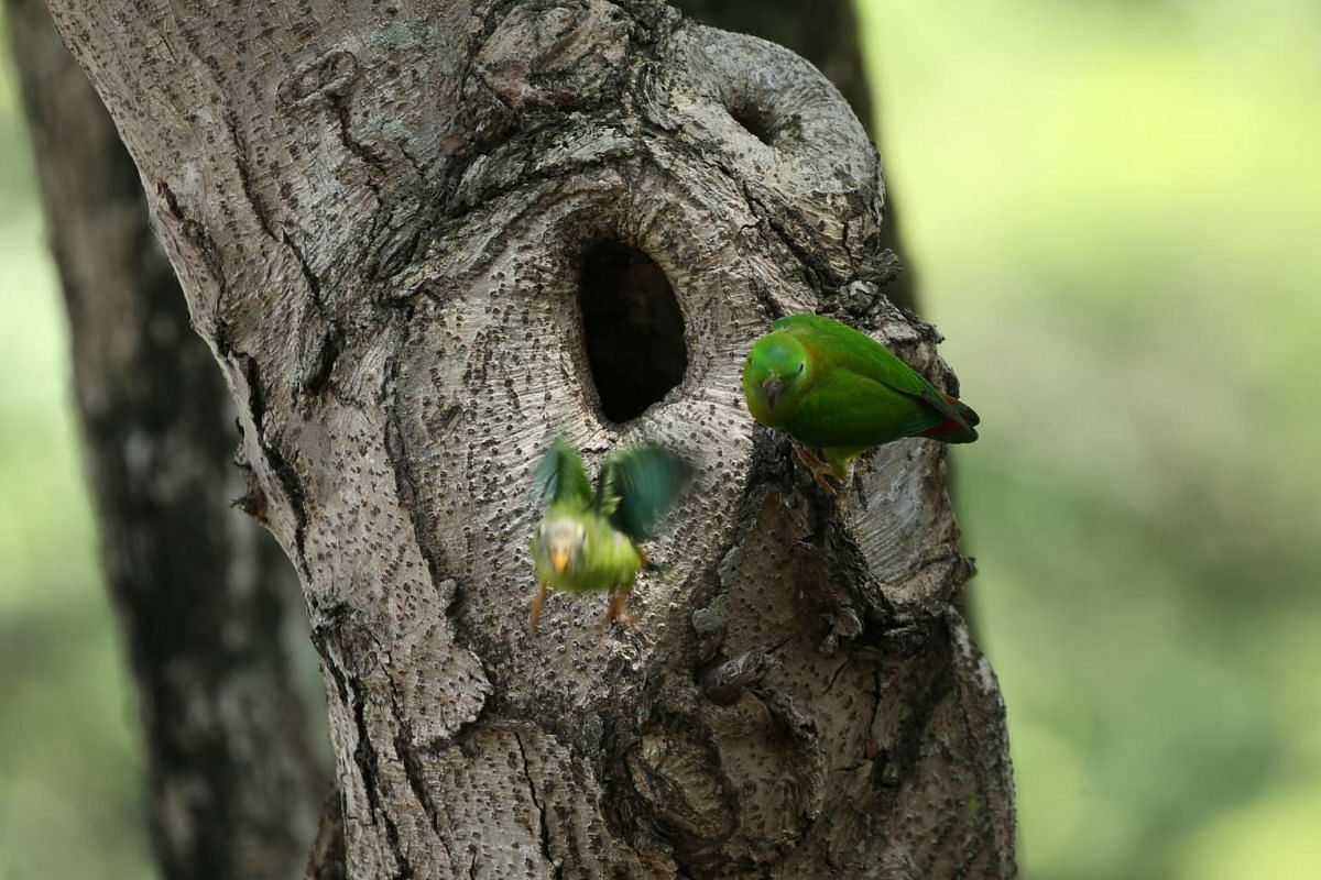 A blue-crowned hanging parrot chick takes its first flight from the nest on April 11, 2017. Since last week, groups of about 20 photographers have spent hours staring at a hole in a tree opposite Pek Kio Market and Food Centre, all waiting to capture