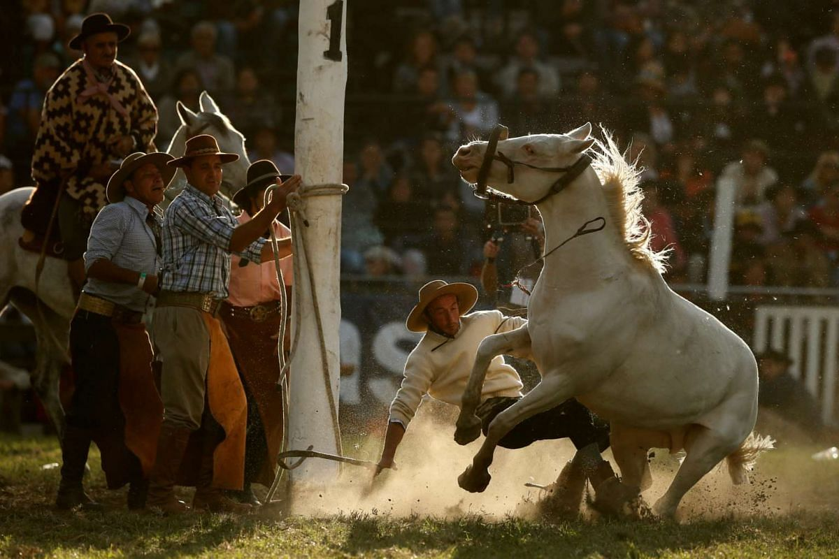 A gaucho is unseated by an unbroken or untamed horse during Creole week celebrations in Montevideo, Uruguay April 12, 2017. PHOTO: REUTERS