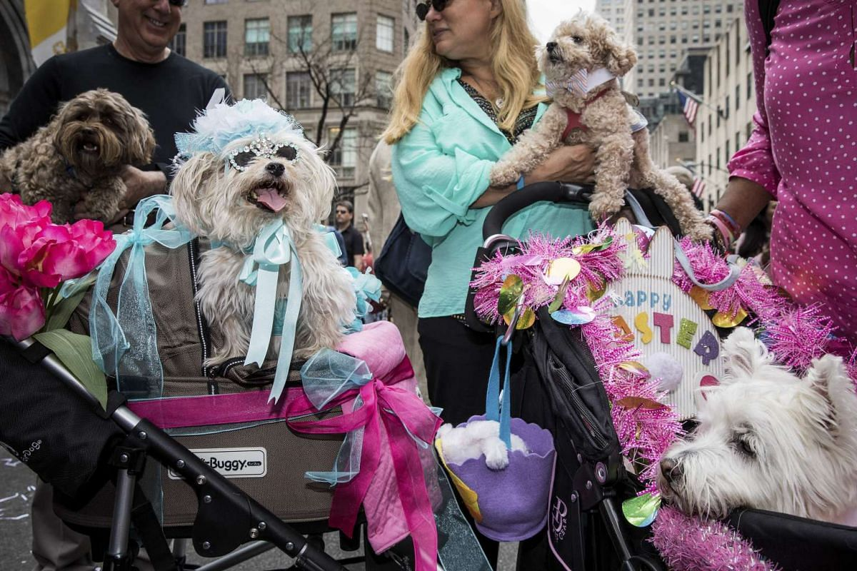 Canine participants near St. Patrick's Cathedral during the Easter Parade on Fifth Avenue in Manhattan, New York, April 16, 2017. PHOTO: NEW YORK TIMES