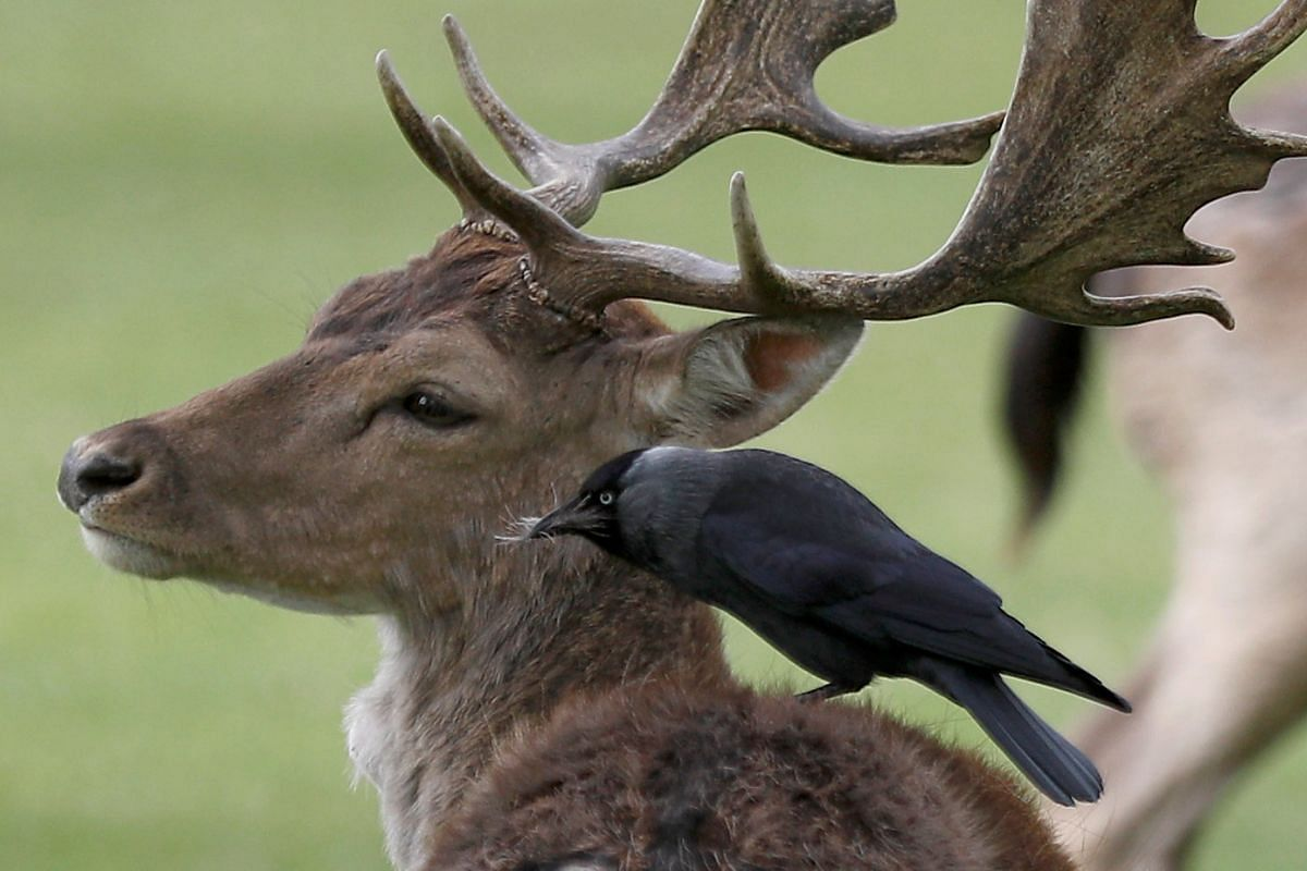 A bird sits and pulls fur from the back of a deer in Bushy Park, in London, Britain April 16, 2017. PHOTO: REUTERS