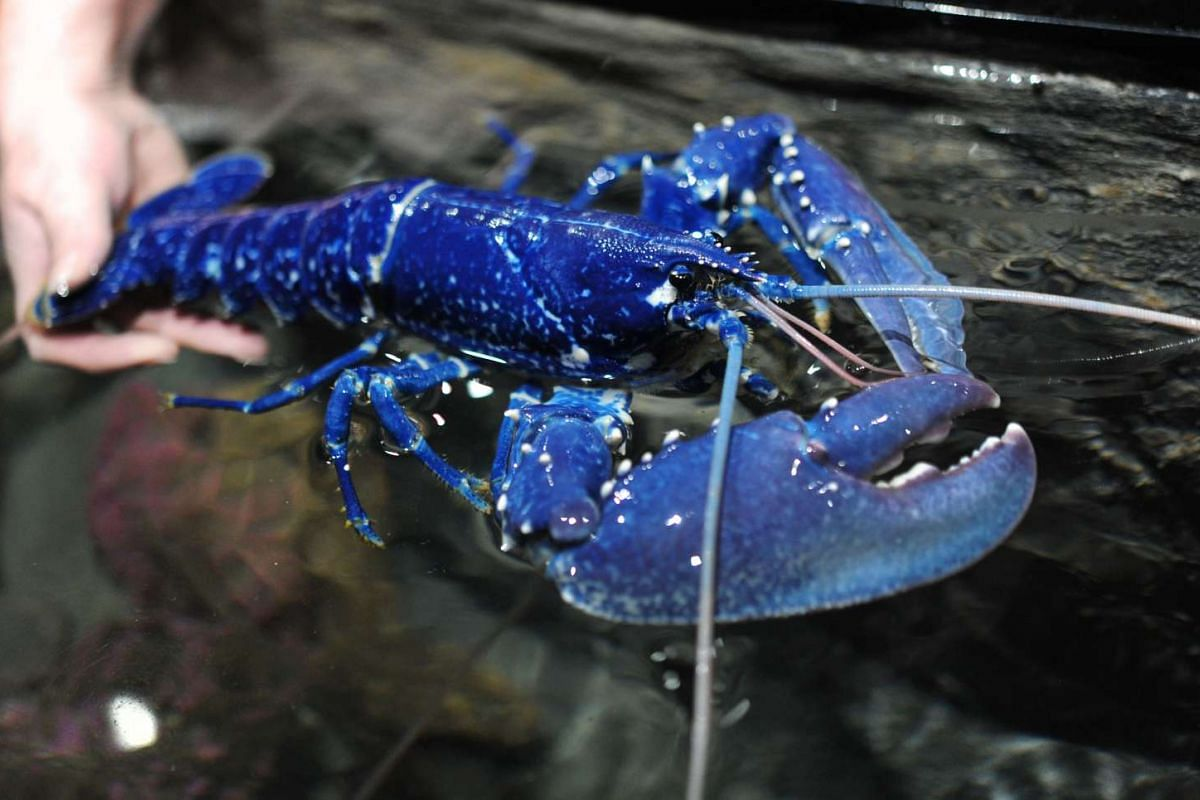This picture taken on April 19, 2017, shows a blue lobster at Oceanopolis, a sea center in Brest, western of France. Scientists say that this specimen is extremely rare : one lobster among 2 or 3 millions is of blue color. This color is due to a gene