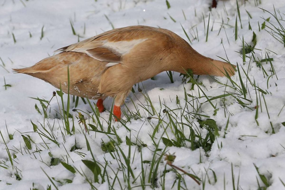 A duck looks for food on a snow-covered meadow near Aitrang, southern Germany, on April 19, 2017. PHOTO: AFP/DPA