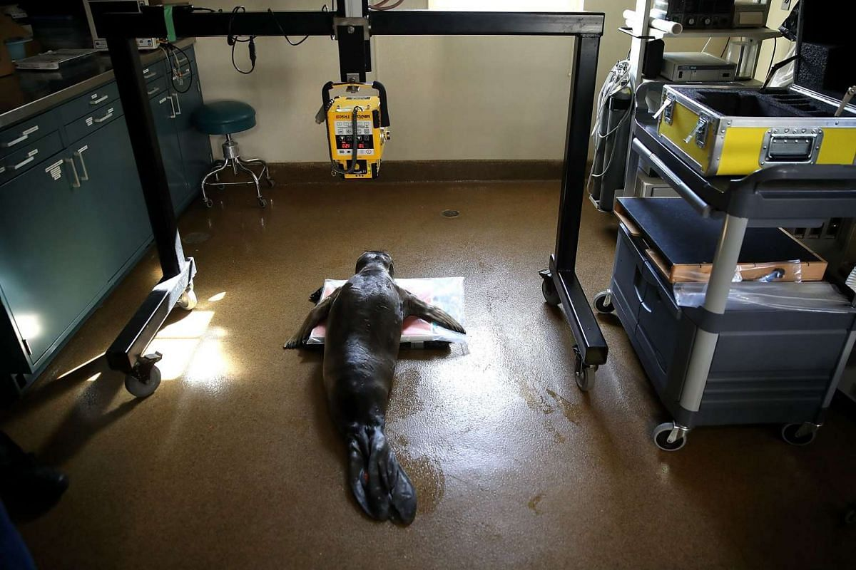 An injured Elephant Seal sits under an x-ray machine at the Marine Mammal Center on April 20, 2017 in Sausalito, California. PHOTO: AFP