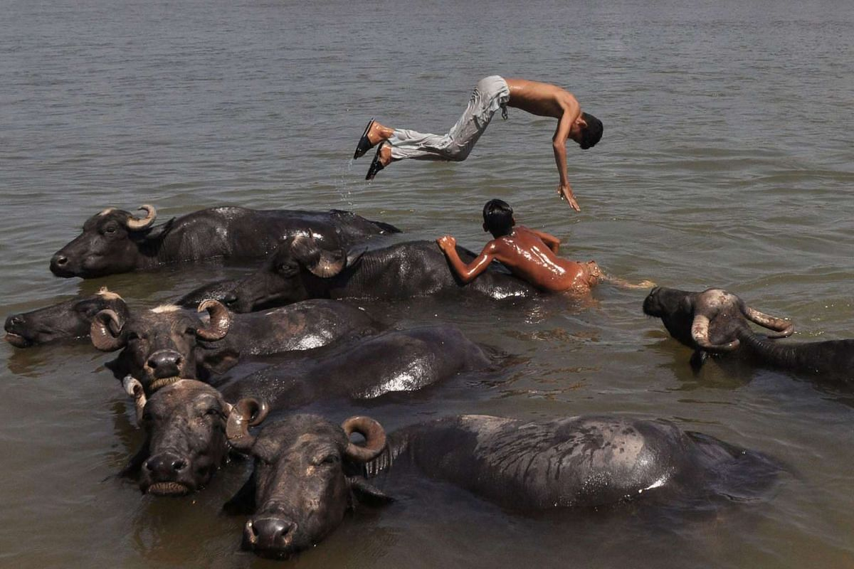 Indian youths play in the water with their herd of buffaloes as they cool off in the Tawi River on a hot day on the outskirts of Jammu on April 20, 2017. PHOTO: AFP